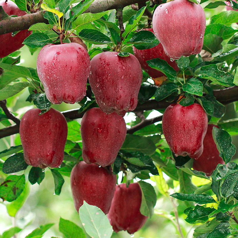 花牛苹果 新鲜水果 苹果