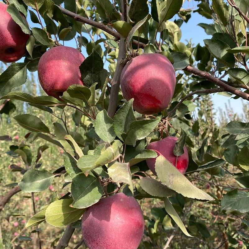 顺丰包邮 新疆红肉苹果礼盒 新鲜水果